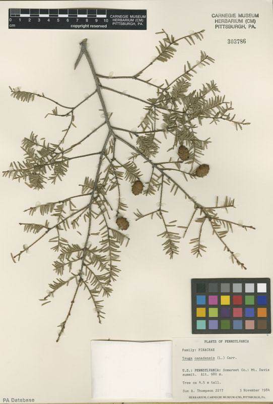 A cutting of the Eastern Hemlock. It has small cones and pine needles.